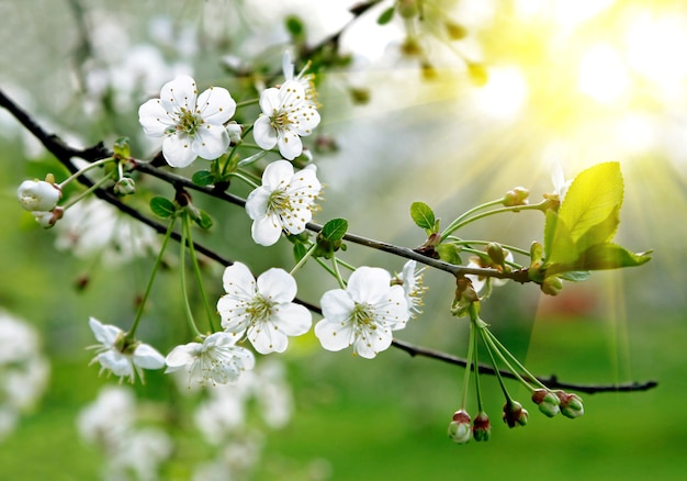 Branch of a blossoming tree with beautiful white flowers Premium Photo