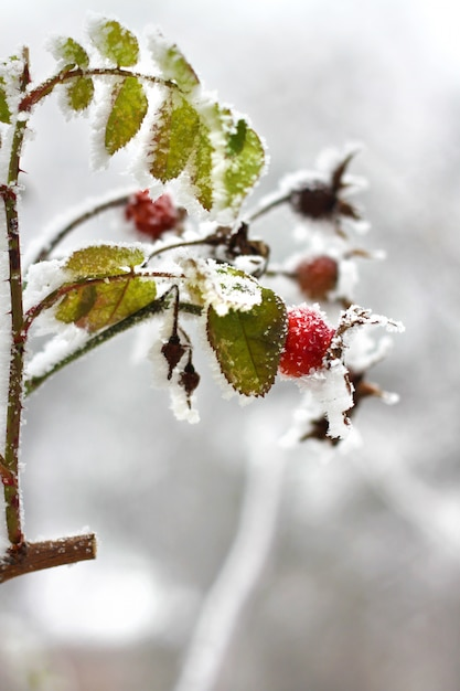 Branch of frozen dog-rose in a winter | Premium Photo