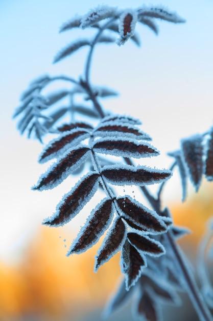 早朝の青空を背景に霜に覆われた木の枝 Premium写真