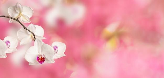 ピンクの花春の背景に咲く白い胡蝶蘭のクローズアップの枝 Premium写真