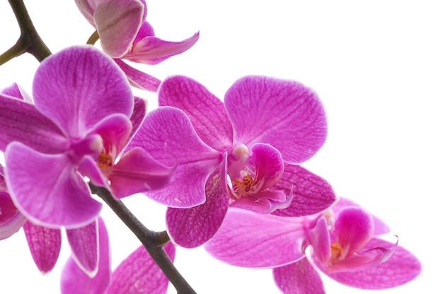 白い背景の上の蘭の花(胡蝶蘭)の枝 Premium写真