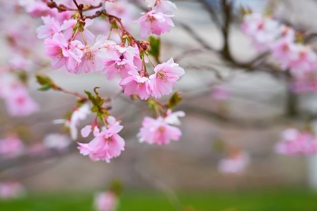 ピンクのリンゴの花の枝 Premium写真