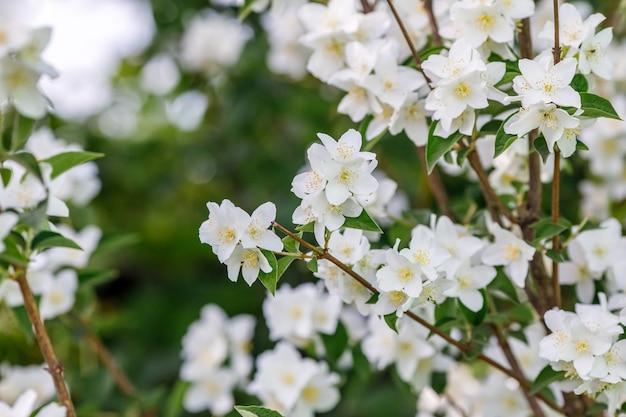 Филиал белых цветов жасмина в саду Premium Фотографии