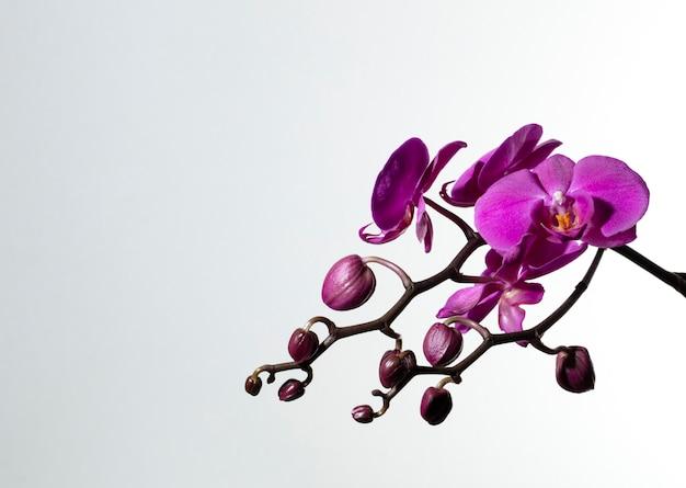 Branch of purple orchids Premium Photo