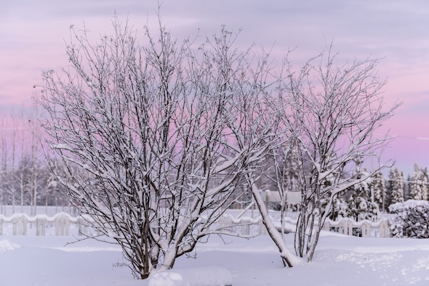 The branch of tree has covered with heavy snow and sunset time in winter season at holiday village kuukiuru, finland. Premium Photo