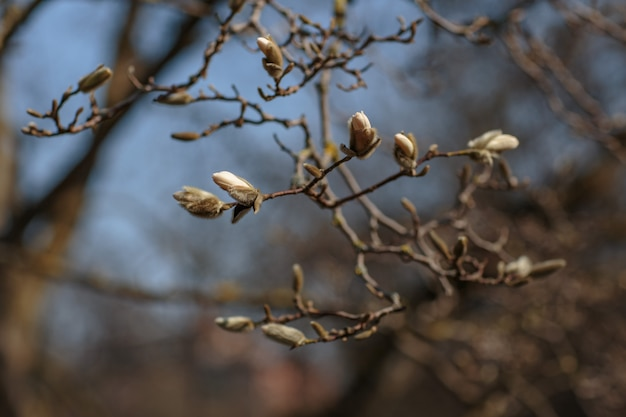 A branch of white magnolia blooms in the spring in the garden Premium Photo