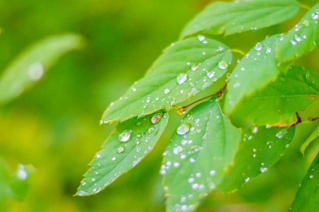 Branch with a green leaf bush . green plant. photosynthesis. Premium Photo