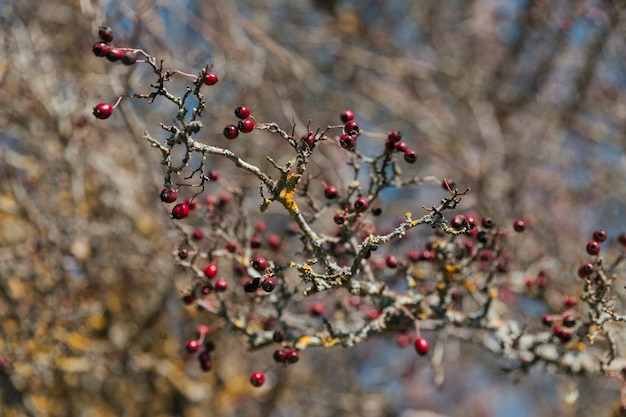 Branch with little red berries Free Photo
