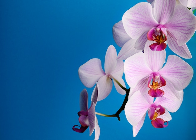 Branch with pink flowers orchids isolated on blue Premium Photo