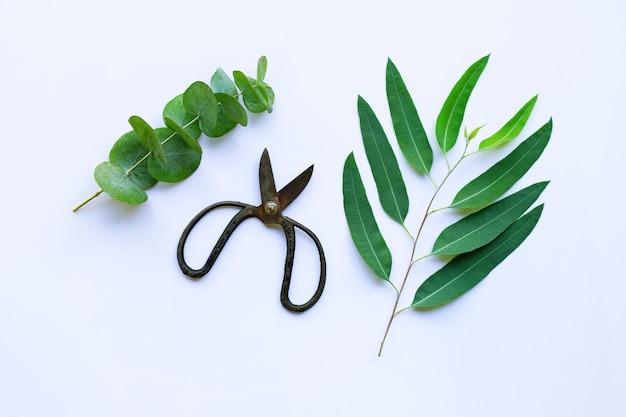 Branches of eucalyptus and vintage scissors Premium Photo
