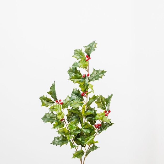 Branches of holly with berries Free Photo