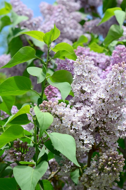 Branches of purple lilac and green leaves. blooming branch of lilac Premium Photo