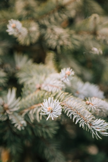 Branches of spruce tree close-up background Free Photo