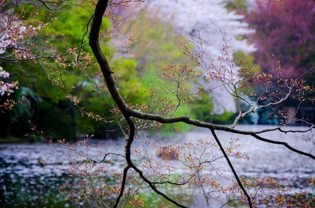 Branches of tree on blurry lake and spring forest background in japan. Premium Photo