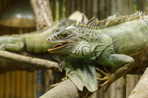 Branchesiguana上のイグアナは中南米の居住者です。 Premium写真