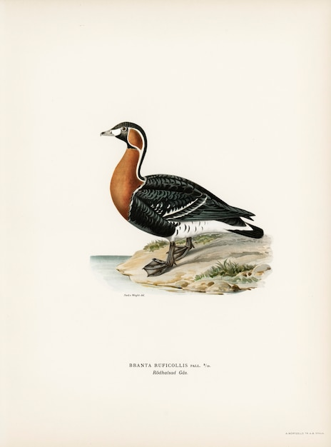 フォンライトの兄弟によって描かれた赤毛のガチョウ(branta ruficollis)。 無料写真