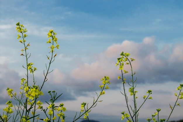 Brassica napus with blue sky and white cloud Premium Photo