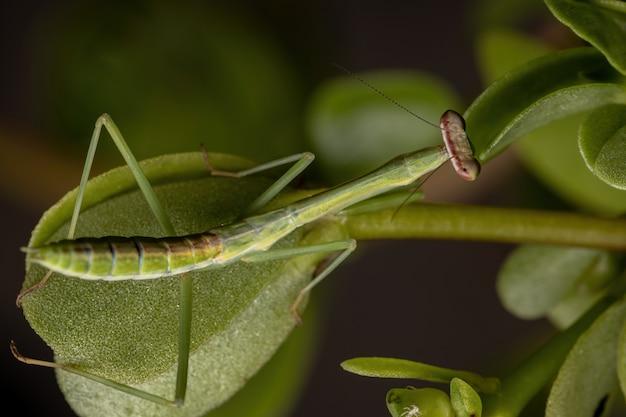 Бразильские маленькие самцы богомолов из рода oxyopsis в деталях с выборочным фокусом Premium Фотографии