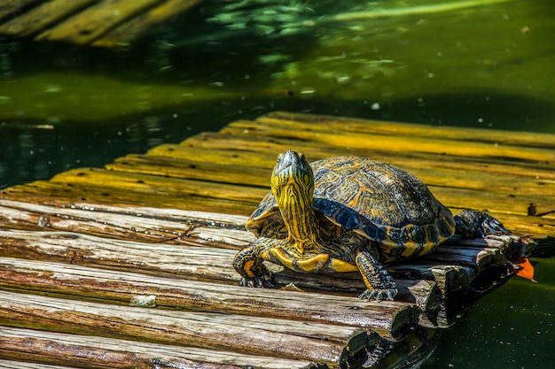 Brazilian tortoise in the open air Premium Photo