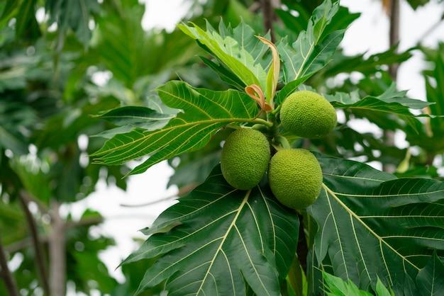 庭の緑の葉とパンノキの木のパンノキ。 Premium写真