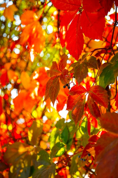 Bright autumn colors. colorful leaves of ornamental grapes at sunny day. Premium Photo