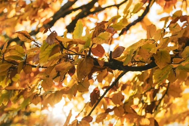 Яркая осень с оранжевыми листьями беспорядка из вяза или березы в лучах солнца Premium Фотографии