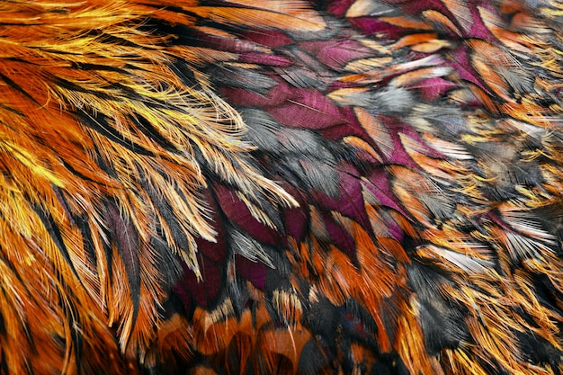 Bright brown feathers of rooster close up. Premium Photo