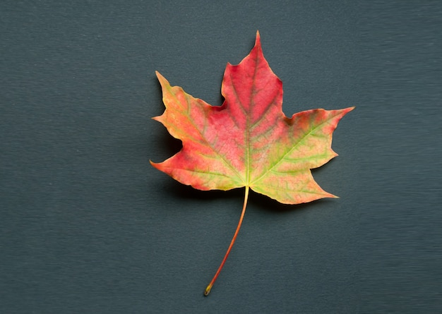 A bright colorful autumn maple leaf lies on a black background Premium Photo