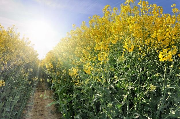 Bright flowers of rape Premium Photo