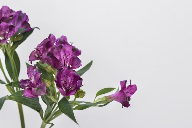Bright purple flowers on white background photo free download bright purple flowers on white background free photo mightylinksfo