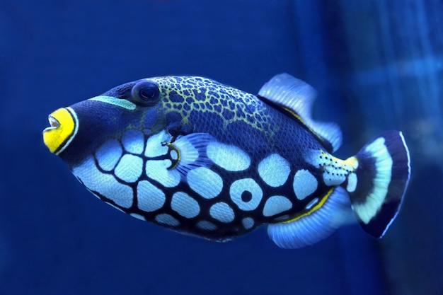 Яркие триггерные рыбы крупным планом Premium Фотографии