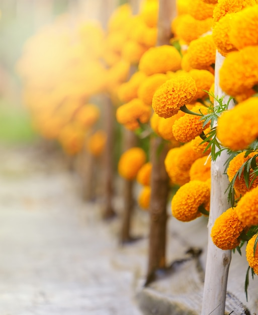 Bright yellow marigold flowers,and copy space Premium Photo