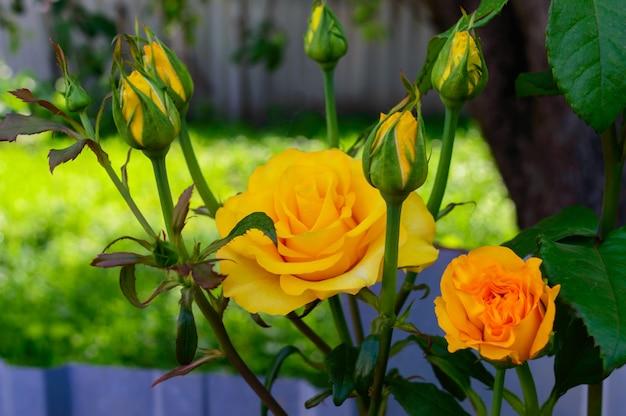 Яркие желтые розы и нераскрытые бутоны на природе Premium Фотографии