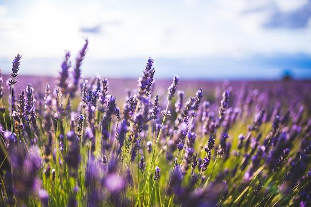 Цветок лаванды на ландшафте селективного фокуса в brihuega, испании. Premium Фотографии