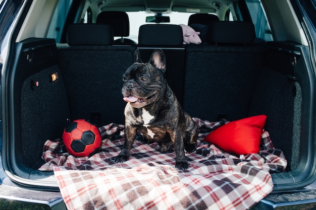 Brindle french bulldog sitting in the trunk of a car on a plaid with a red ball and a pill Premium Photo