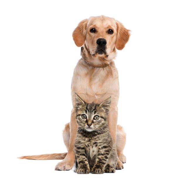 ゴールデン・リトリーバーの前に座っているイギリスのロングヘア子猫 Premium写真