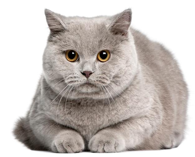 ブリティッシュショートヘアの猫、8ヶ月、 Premium写真