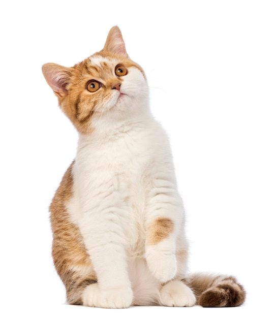Британский короткошерстный котенок (3,5 месяца) сидит и смотрит вверх Premium Фотографии