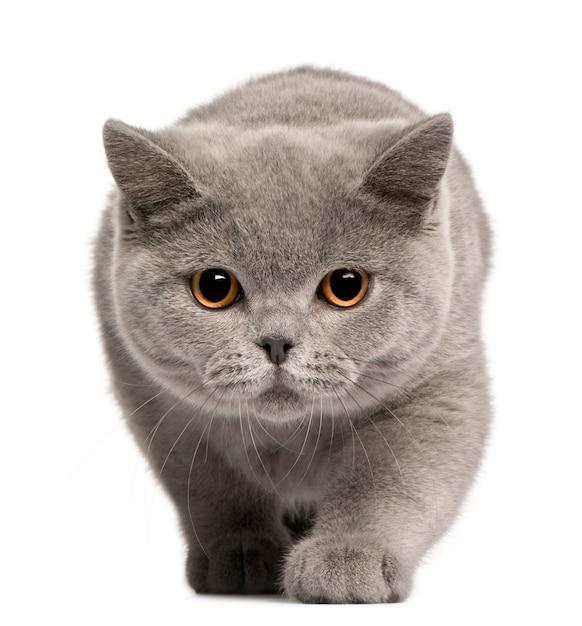 British shorthair kitten, 4 months old, Premium Photo