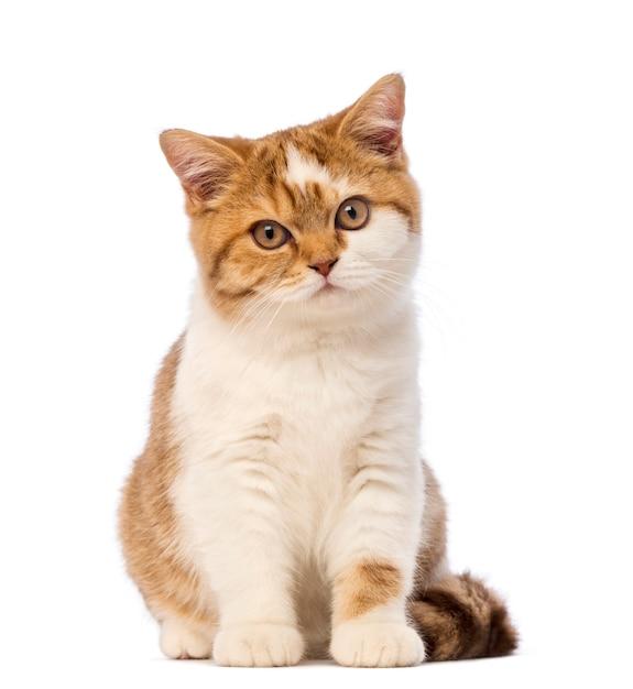 British shorthair kitten, sitting and looking Premium Photo