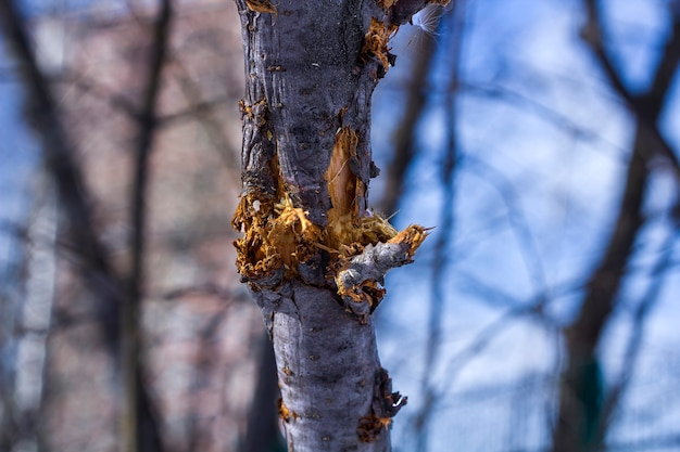 嵐の後、または犬にかじられた後、公園で木の枝が折れた。 Premium写真