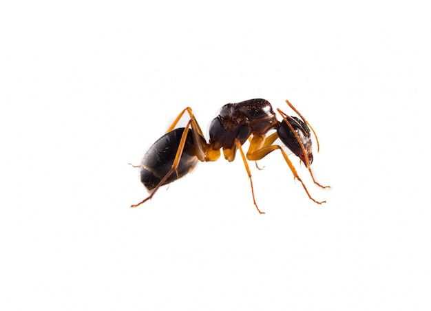Brown ant on white background Photo | Free Download