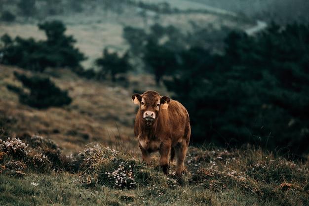 Коричневая корова в дикой природе Premium Фотографии
