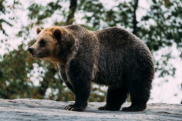 Brown bear at bronx zoo. new york Premium Photo