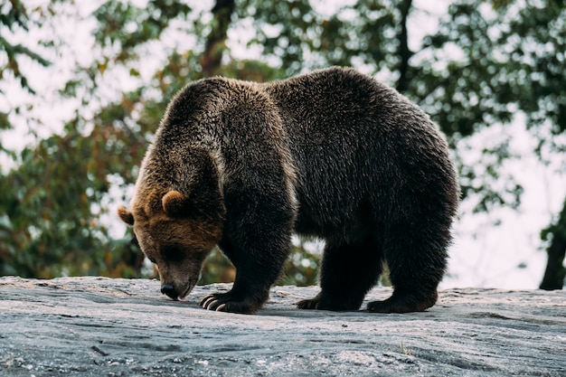 Brown bear at bronx zoo. new york Premium Photo