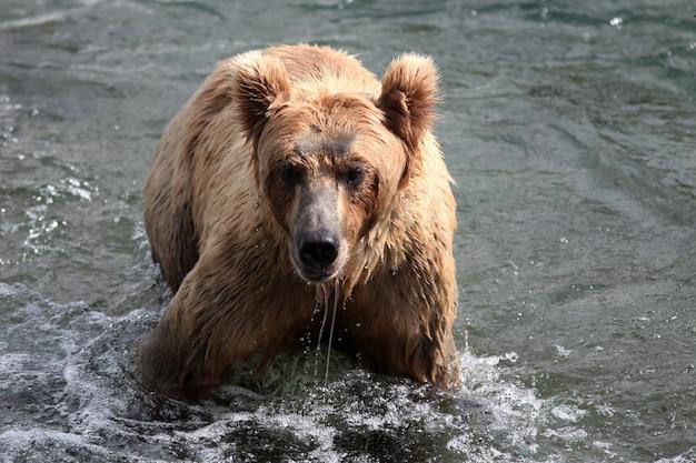 アラスカの川で魚を捕まえるヒグマ 無料写真