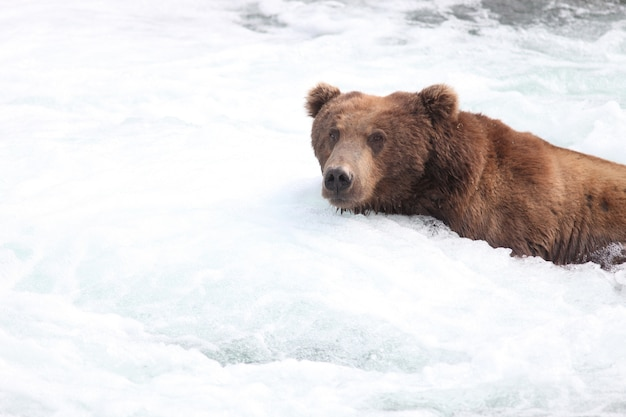 Brown bear catching a fish in the river in alaska Free Photo