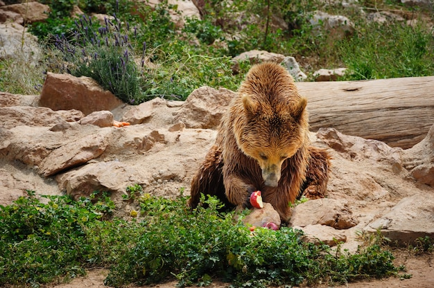 Brown bear eating apple Premium Photo