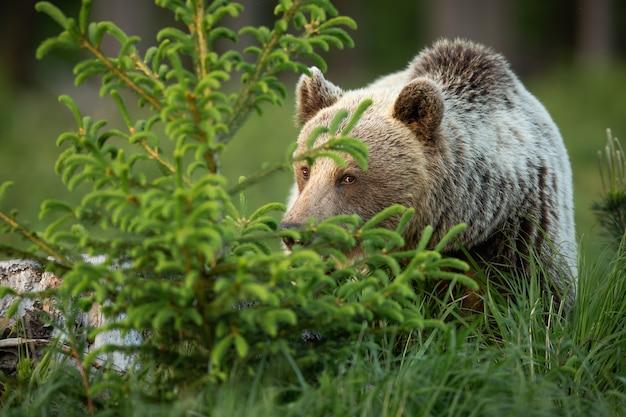 春の自然の中でトウヒの木の後ろに隠れているヒグマ Premium写真