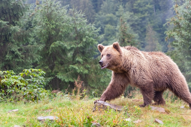 Бурый медведь (лат. ursus arctos) в лесу на фоне дикой природы. Premium Фотографии